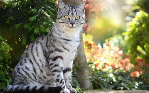 美国短毛猫品种和性格特质