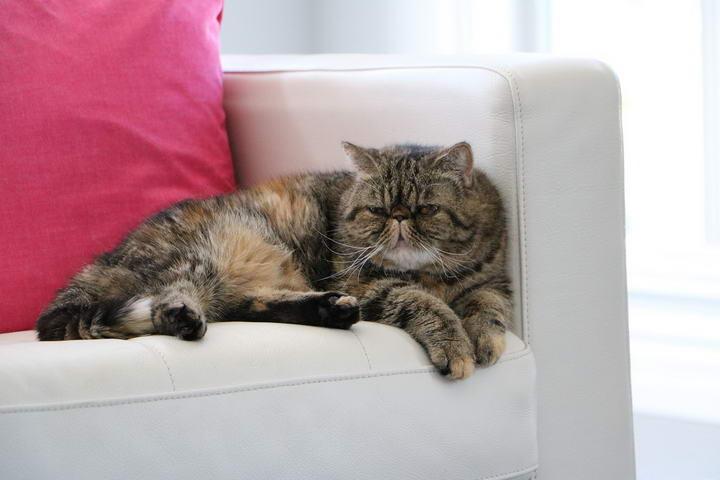 异国短毛猫/加菲猫的品种和性格特质