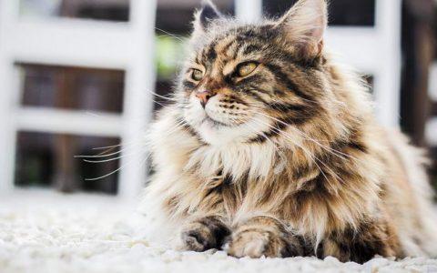 波斯猫的品种和性格特质