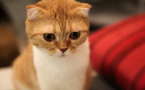 苏格兰折耳猫品种和性格特质
