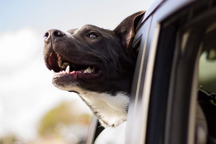 狗狗坐车晕车又晕又吐的几个问题和解决办法