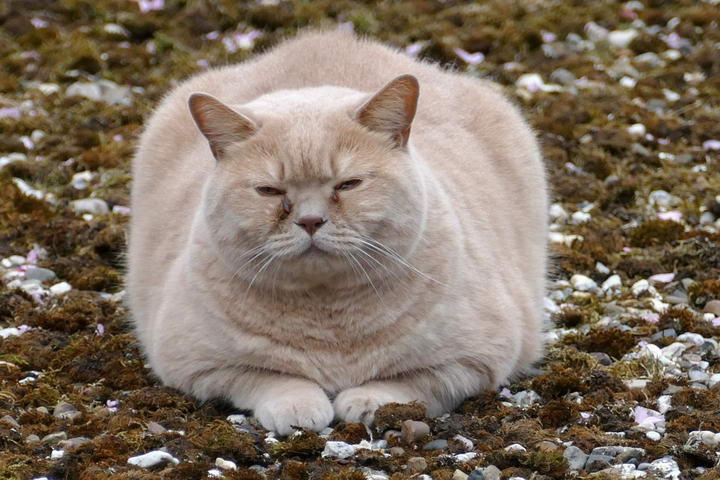 猫咪胖胖的虽然很可爱,但是却有很多危害