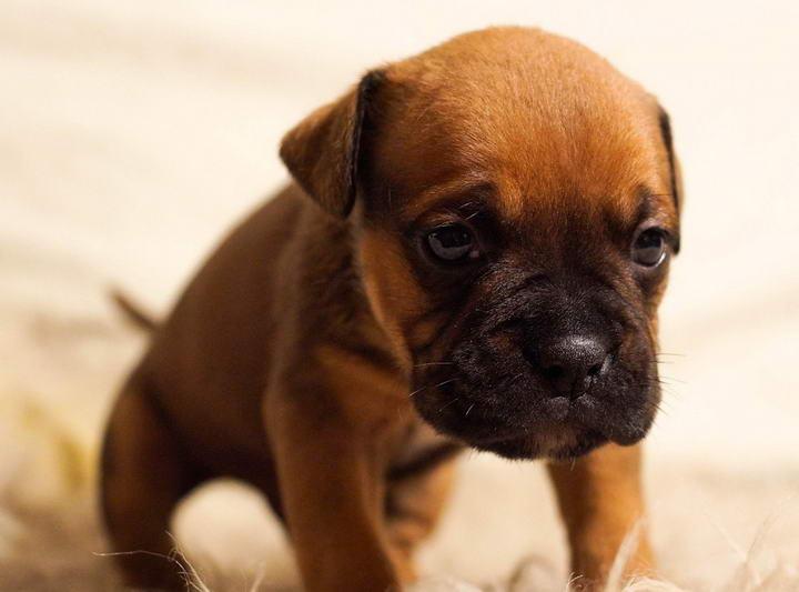 主人的不正确互动会导致狗狗抑郁症