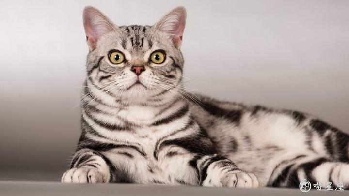 哪些品种的猫咪更温顺,更亲人?