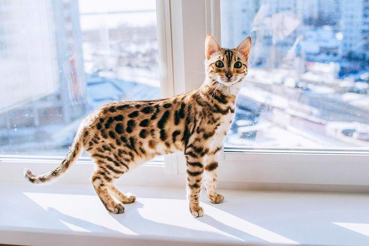 猫中巨人:五种适合家养的大型宠物猫咪品种