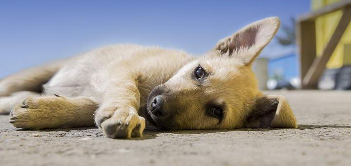 狗狗自体免疫失调时怎么办?