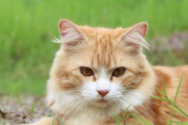哪些猫咪不适合剃毛?