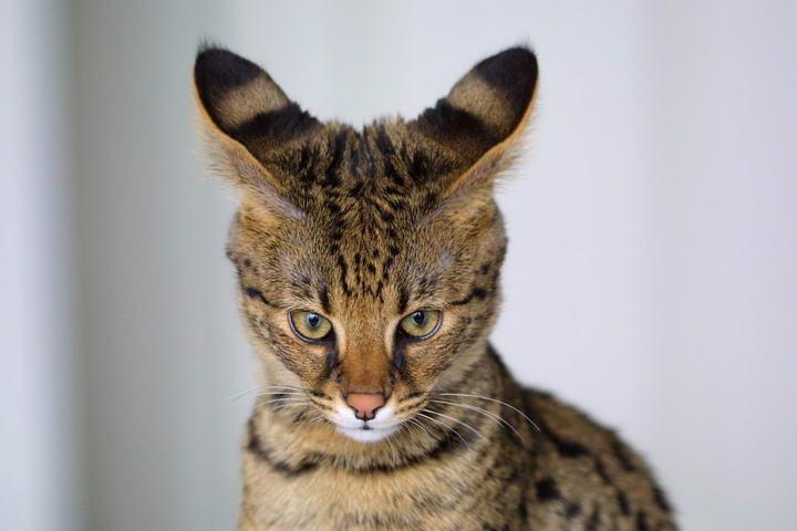 冷知识:世界上最大的宠物猫咪品种(热带草原猫,又名萨凡纳猫)