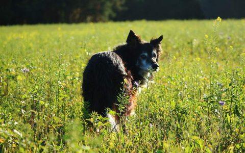 狗狗被蜜蜂蛰伤以后我们该如何处理