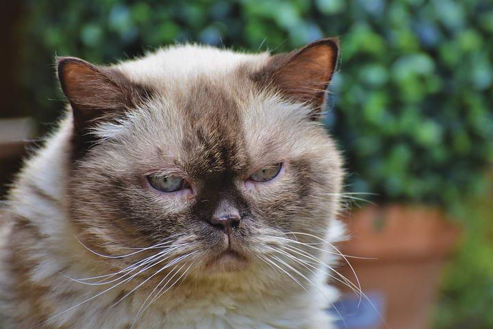 猫咪肝脏疾病:病因、征候和症状