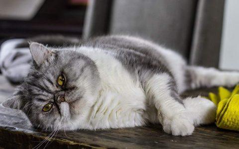 猫咪肥胖与体重管理