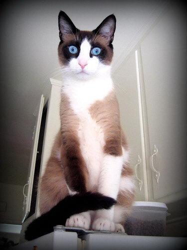 适合单身狗喂养的10种猫咪品种