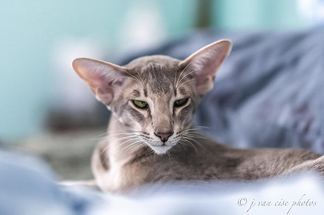 有哪些不容易掉毛的猫咪种类?
