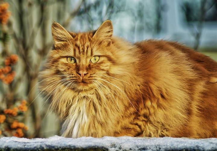 哪种猫咪的寿命最短?世界上活最久的猫咪活了38年