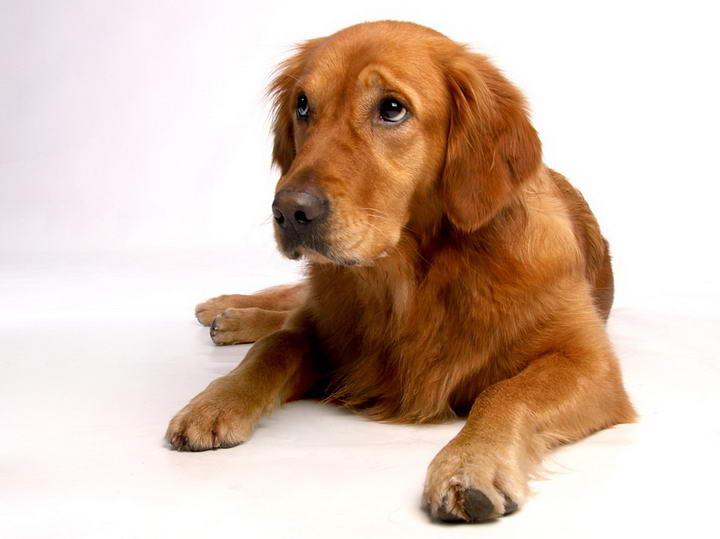 金毛犬的基本信息介绍