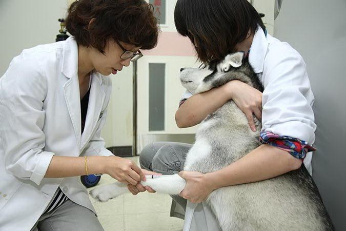 狗狗献血有哪些注意点?什么样的宠物狗可以献血