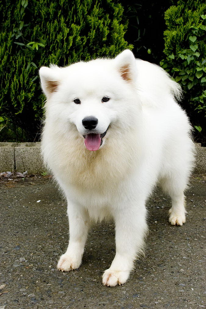 因品种及基因关系,某些品种的狗狗血液较具封闭性,不易当上捐血犬。图为萨摩耶犬。