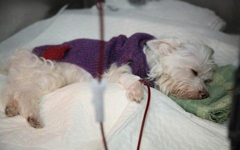 狗狗献血输血的一些知识点