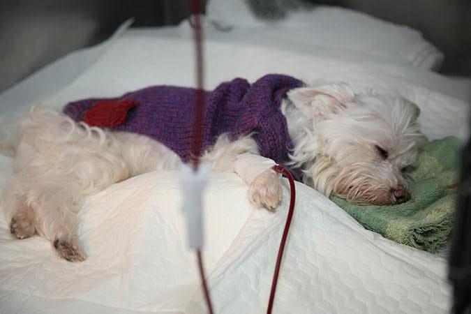 狗狗的血型比人类要复杂许多,在捐、输血作业上要更为小心谨慎。
