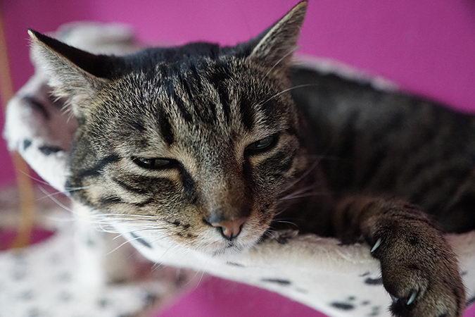 宠物猫咪和狗狗如果有三多:吃多、喝多、尿多!小心甲状腺疾病上身