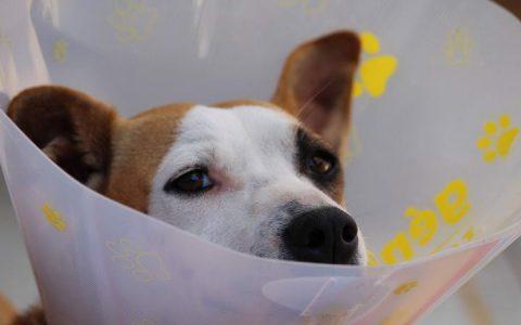 猫咪或者狗狗老是舔脚,可能会导致趾间炎和毛球症