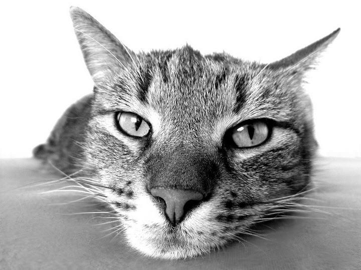 猫咪的三腺炎介绍