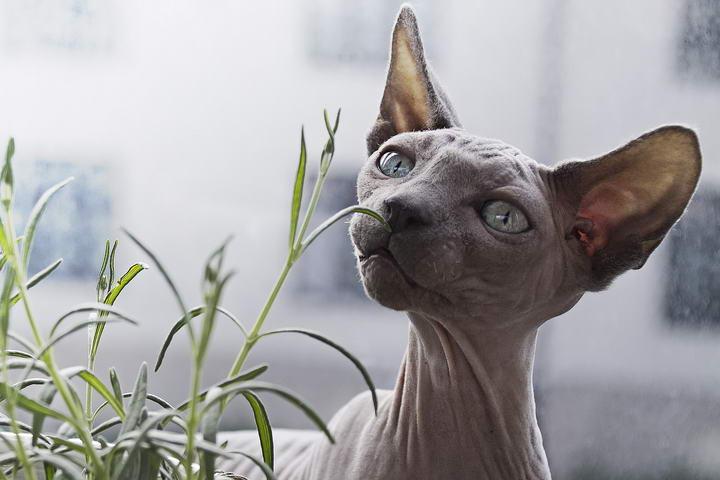 对猫咪猫毛过敏的人能养猫吗?