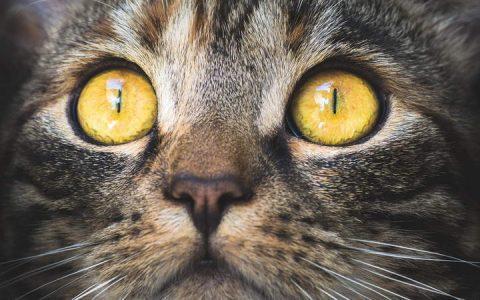 猫咪眼屎和眼泪增加是什么问题?