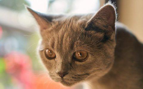 猫咪耳朵发炎了怎么办?