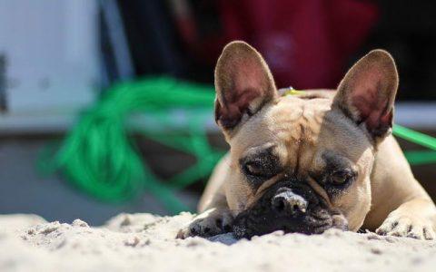 狗狗猪叫声般的猛烈吸入鼻腔症状