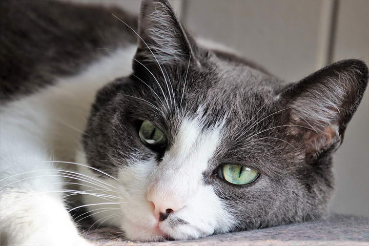 猫咪的富贵病——疱疹病毒