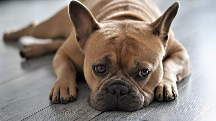 法国斗牛犬的日常困扰二:体温过高