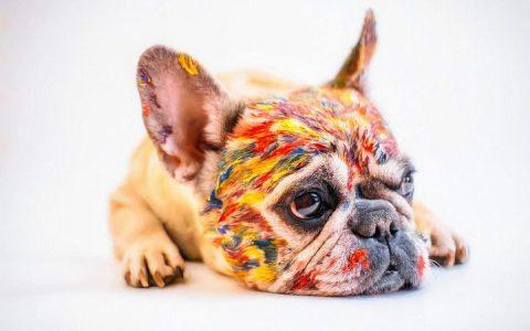 法国斗牛犬的日常困扰三:敏感肌肤易过敏