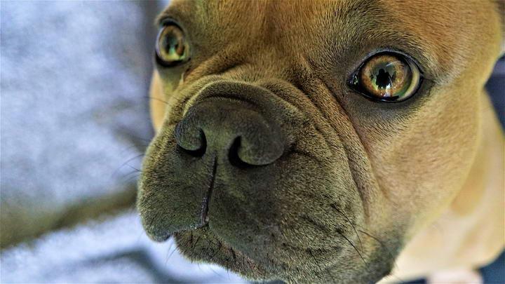 法国斗牛犬的日常困扰五:口腔气味