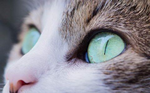 猫咪眼睛发炎怎么办?宠物猫结膜角膜炎的治疗
