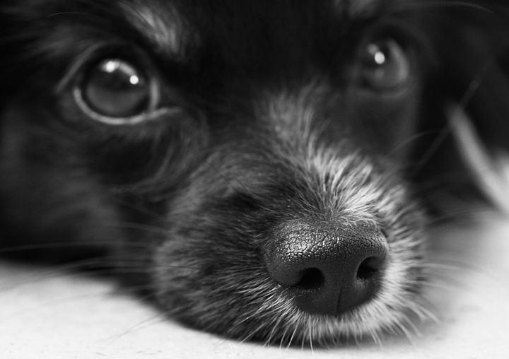 老年宠物狗狗和猫咪常见疾病之白内障