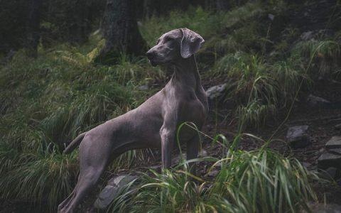 老年宠物狗狗和猫咪常见疾病之退化性关节炎