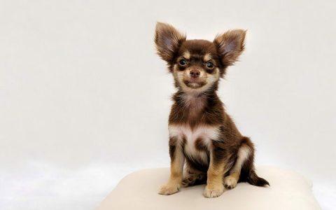 老年宠物狗狗和猫咪常见疾病之二尖瓣瓣膜退化性病变