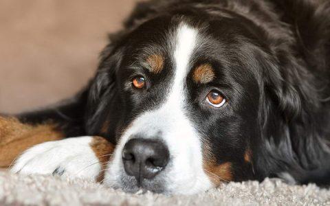 老年宠物狗狗常见疾病之扩张型心肌病