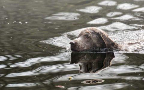 警惕:游泳时河水中的藻类也能杀死你的狗狗