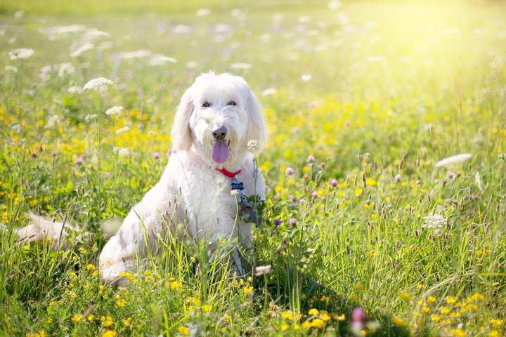 贵宾犬常见疾病:膝盖骨异位