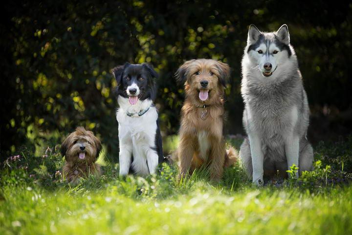 狗狗常见心脏疾病:犬慢性心瓣膜疾病