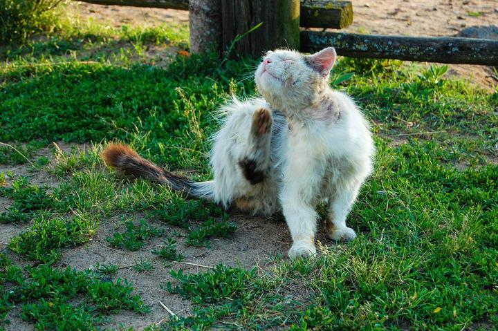 猫咪常见五大疾病:肾衰竭、泡疹病毒、口炎、猫尿路结石、耳疥虫