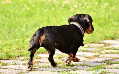 腊肠犬常见疾病:瘫痪