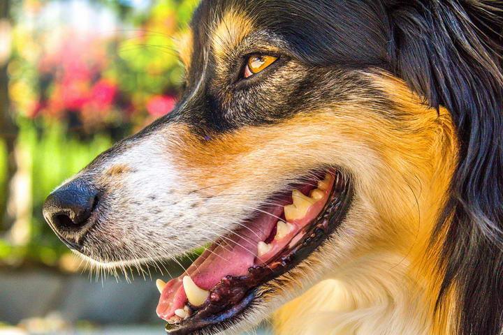 宠物狗狗和猫咪常见口腔疾病:牙周病、牙龈瘘管、蛀牙、增生团块、肿瘤