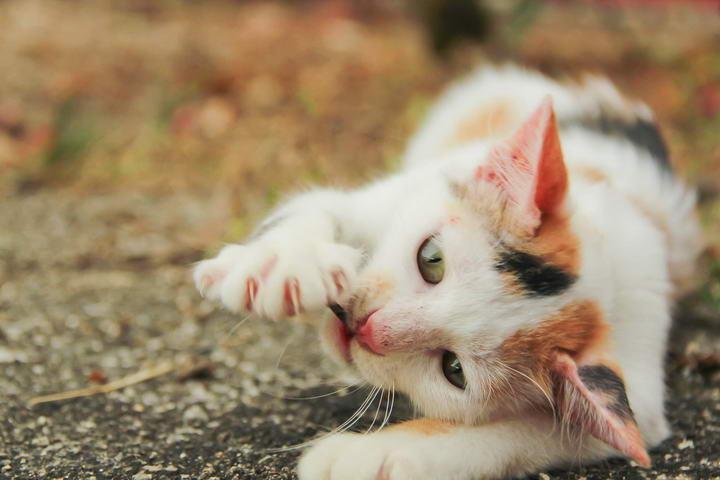 猫咪传染病:猫抓病,抗生素可治愈