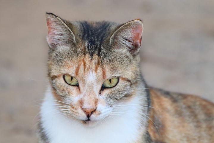 猫咪传染病:弓形虫病,注意饮食清洁
