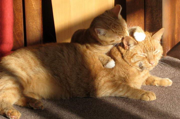 猫咪毛球症的介绍