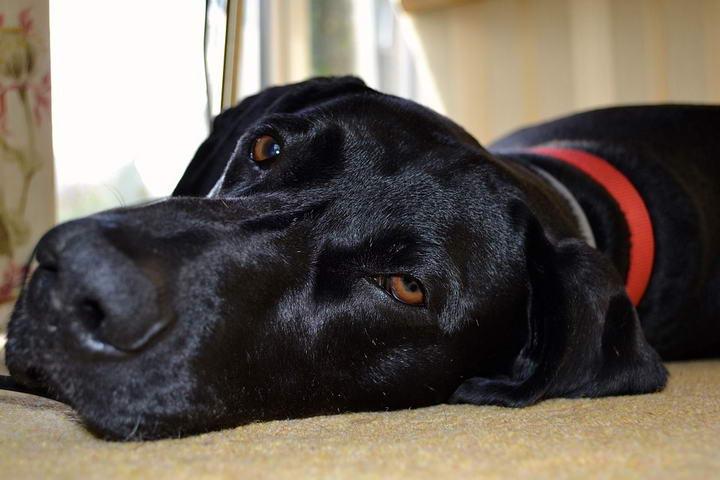 宠物狗狗疾病:肝外门腔分流