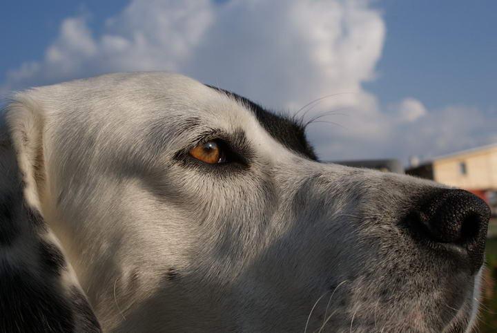 狗狗常见的五种疾病:结膜炎、膝盖骨异位、外耳炎、牙结石、过敏性皮肤炎